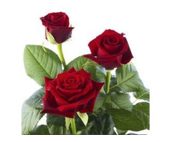 Dutch Roses Suppliers